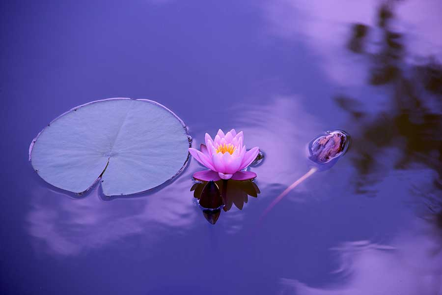 peace - lotus in the water